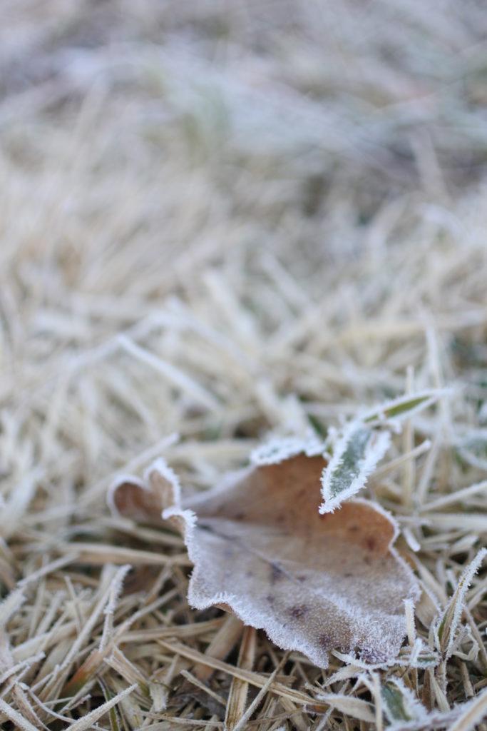 芝生と落ち葉に降りた霜