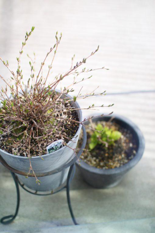 ヒメウツギの新芽が可愛すぎる