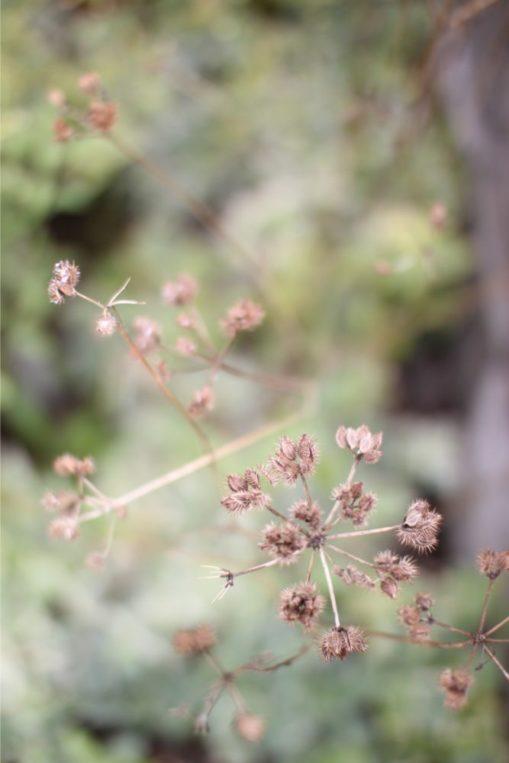 オルラヤの種の収穫