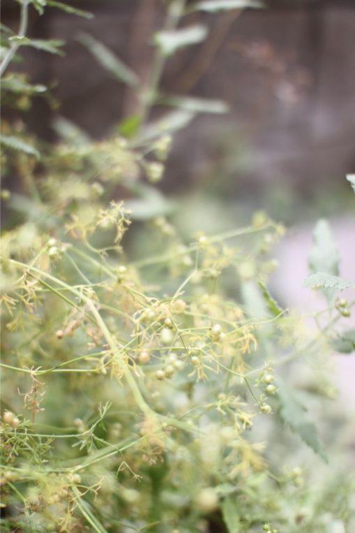 パクチーの種の収穫