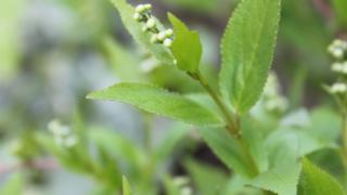 卯の花ヒメウツギ