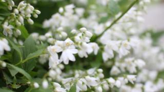 卯の花(ヒメウツギ)