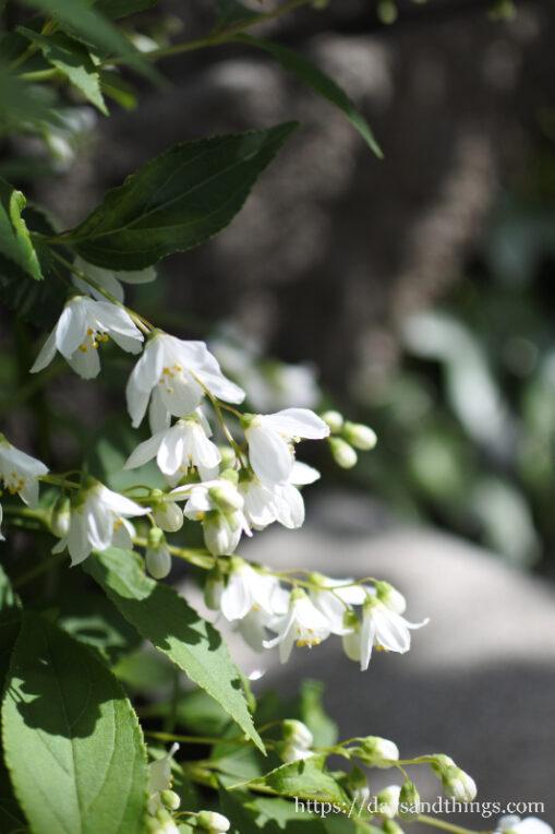 ヒメウツギ(卯の花)